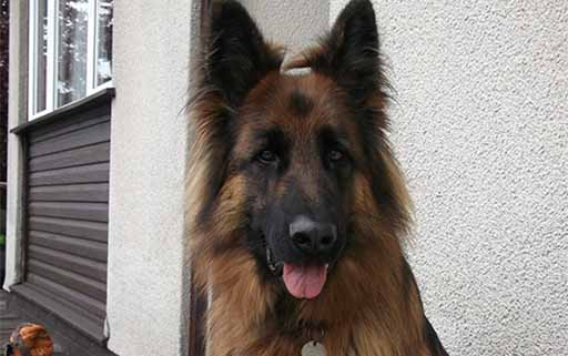 5 year old German Shepherd 'Jay' wins Pet of the Month!