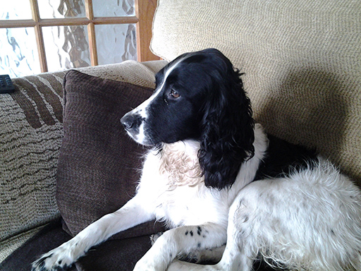 Gem the Springer Spaniel recovered from Addisons