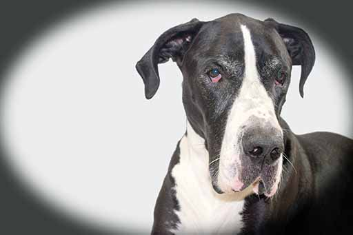 Heart health is critical for big dogs