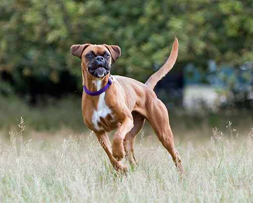 Healthy heart checks are critical for large breed dogs like Boxer Dogs to check for DCM