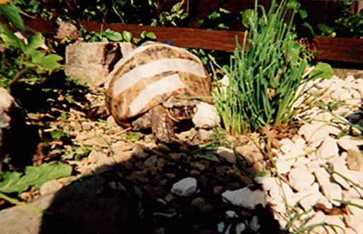 Alfred the tortoise - Pet of the Month for January