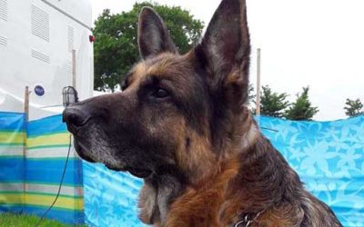 Cobra the German Shepherd – a worthy Pet of the Month!