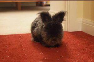 Mollie the Angoran rabbit - Quantock Veterinary Hospital Pet of the Month