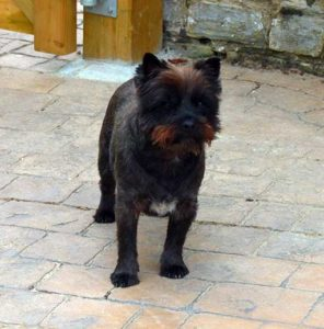 Cairn Terrier Toby Quantock Pet of the Month