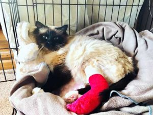 Bailey the Birman cat Quantock Vets Pet of the Month