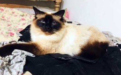 Bailey the injured Birman cat is Quantock's next Pet of the Month