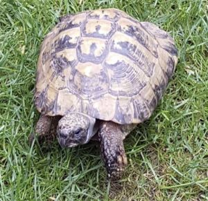 Toby the Tortoise - Quantock Vet Pet of the Month