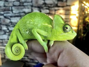 Carrie chameleon - Quantock Vets pet of the month
