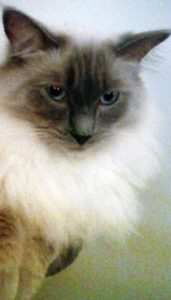 Ragdoll cat Star - Quantock Pet of the Month