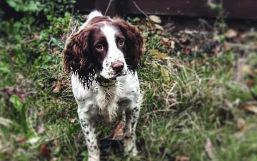 Lemmy the spaniel survives stone removal operation and wins Pet of the Month!