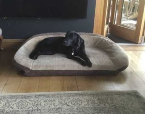 Tilly the labrador Pet of the Month
