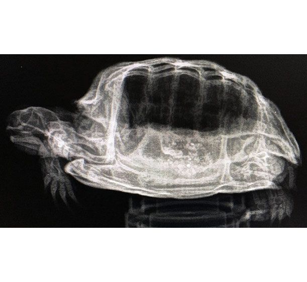 Turtle x-ray exotic pets